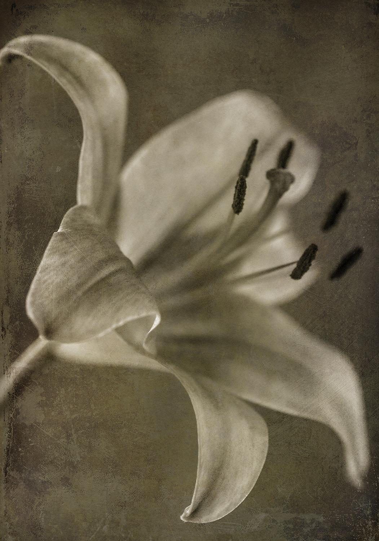 Lily 3 Sepia