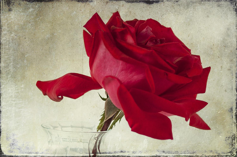 Red Rose Panel 2