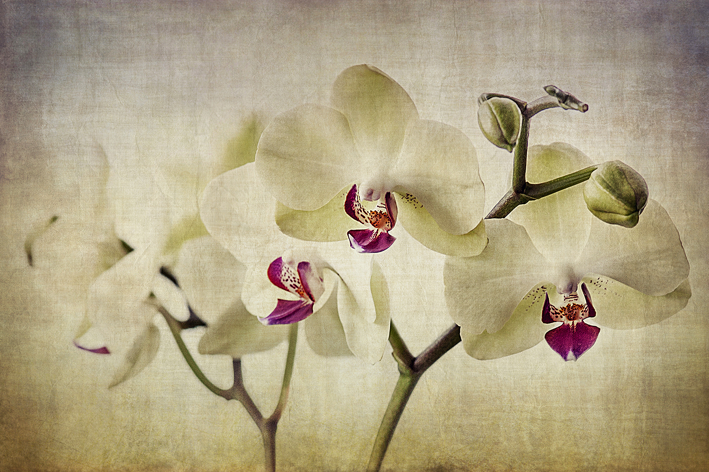 Pale Orchids Wide
