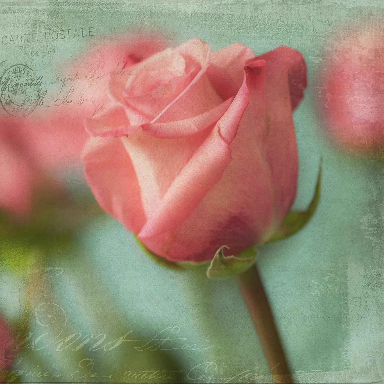 Rose Bud Pink 1