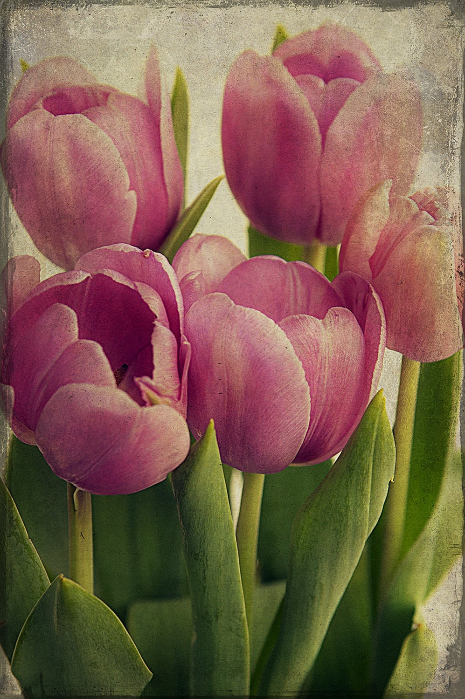 Purple Tulips CU