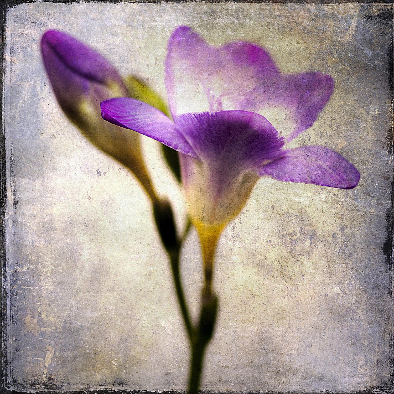 Purple Iris 1
