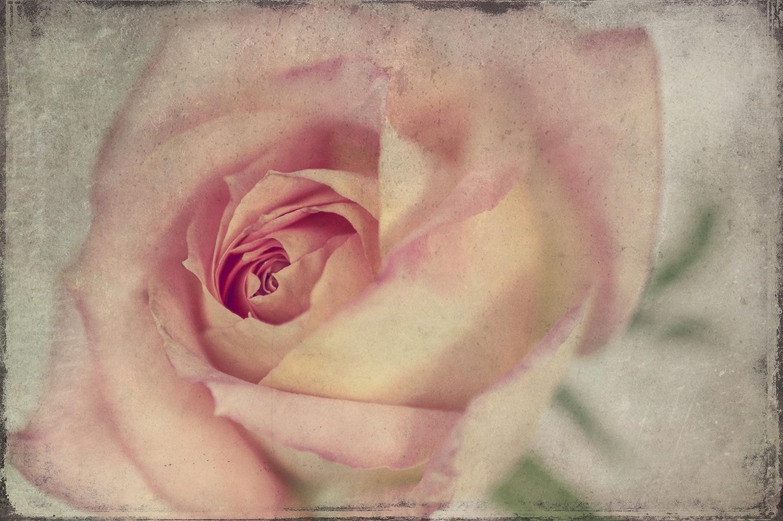 Pink Rose Panel 1