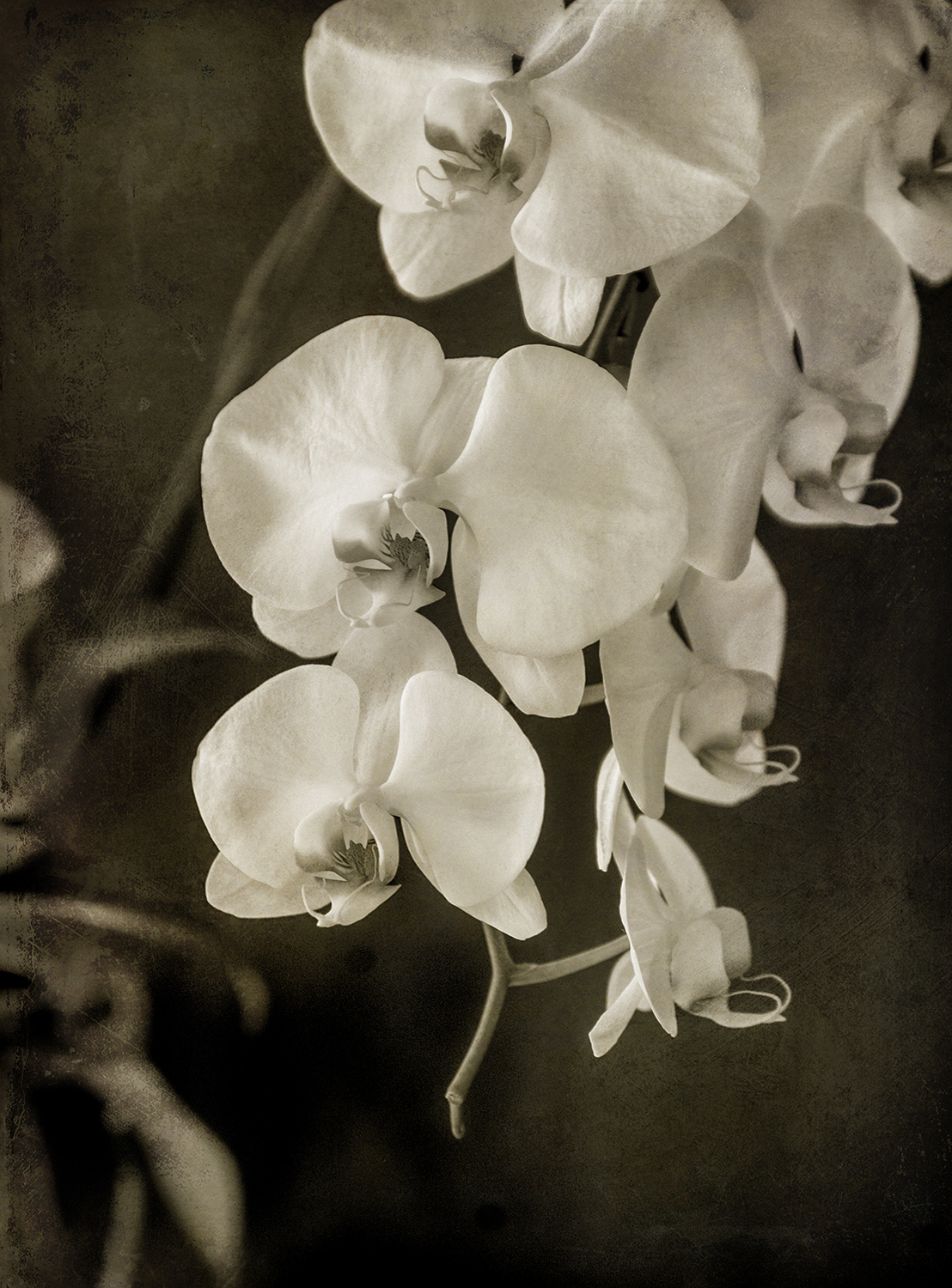 Orchid 2 Sepia