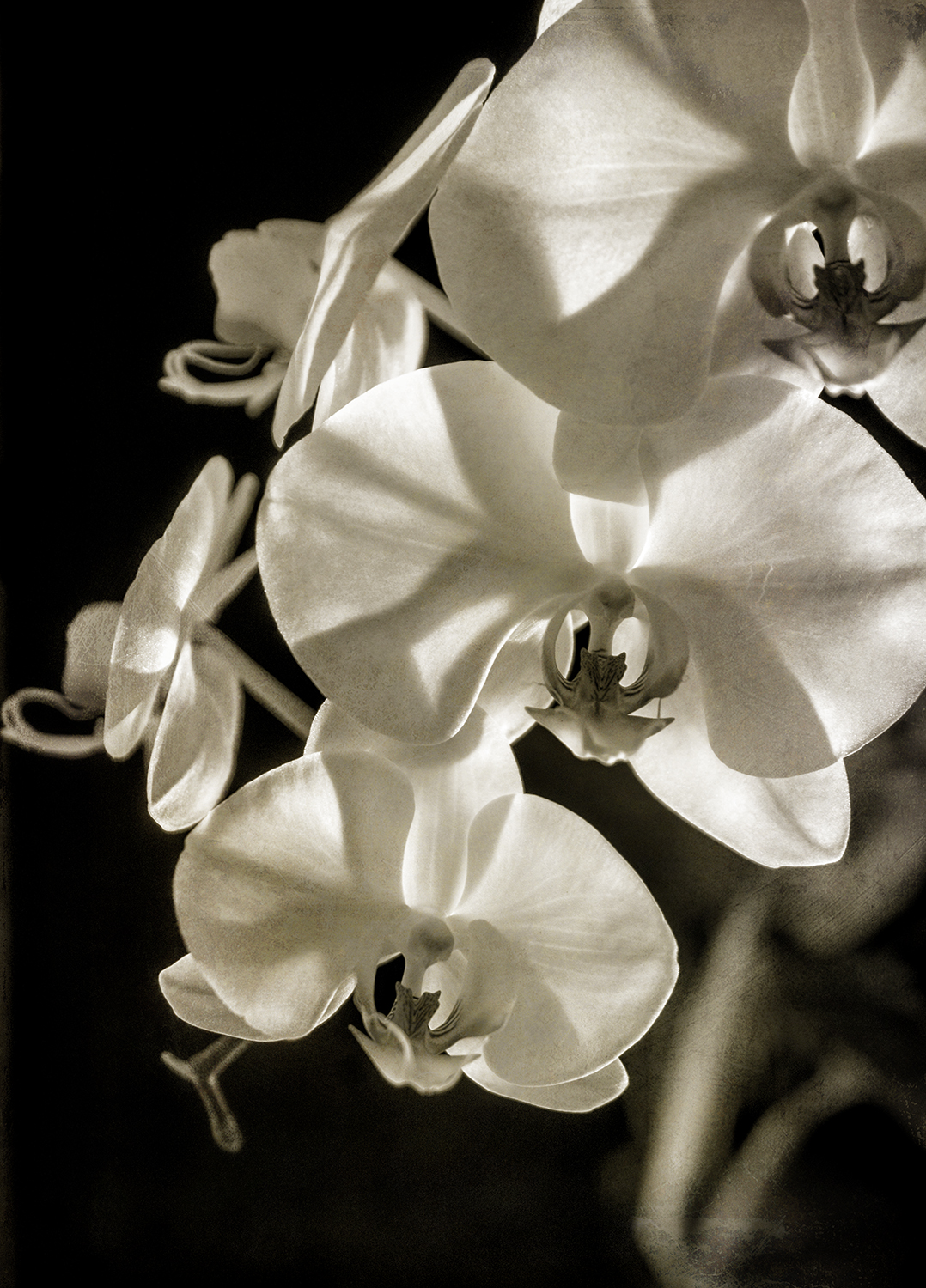 Orchid 1 Sepia