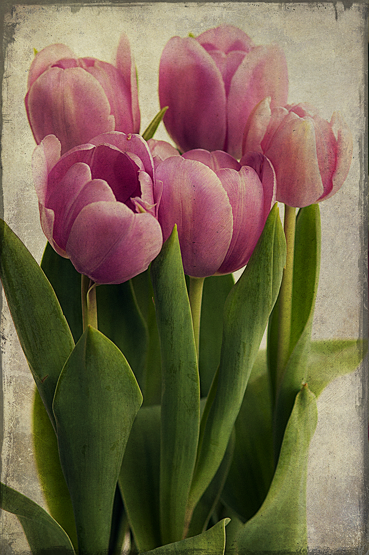 Purple Tulips Full