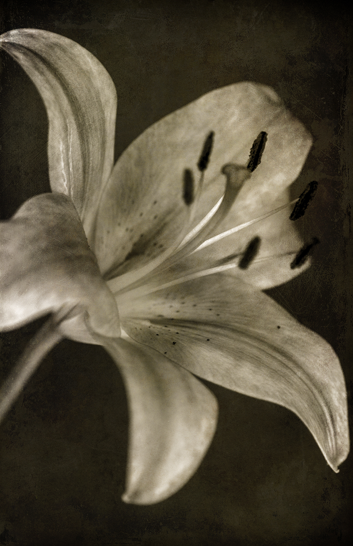 Lily 1 Sepia