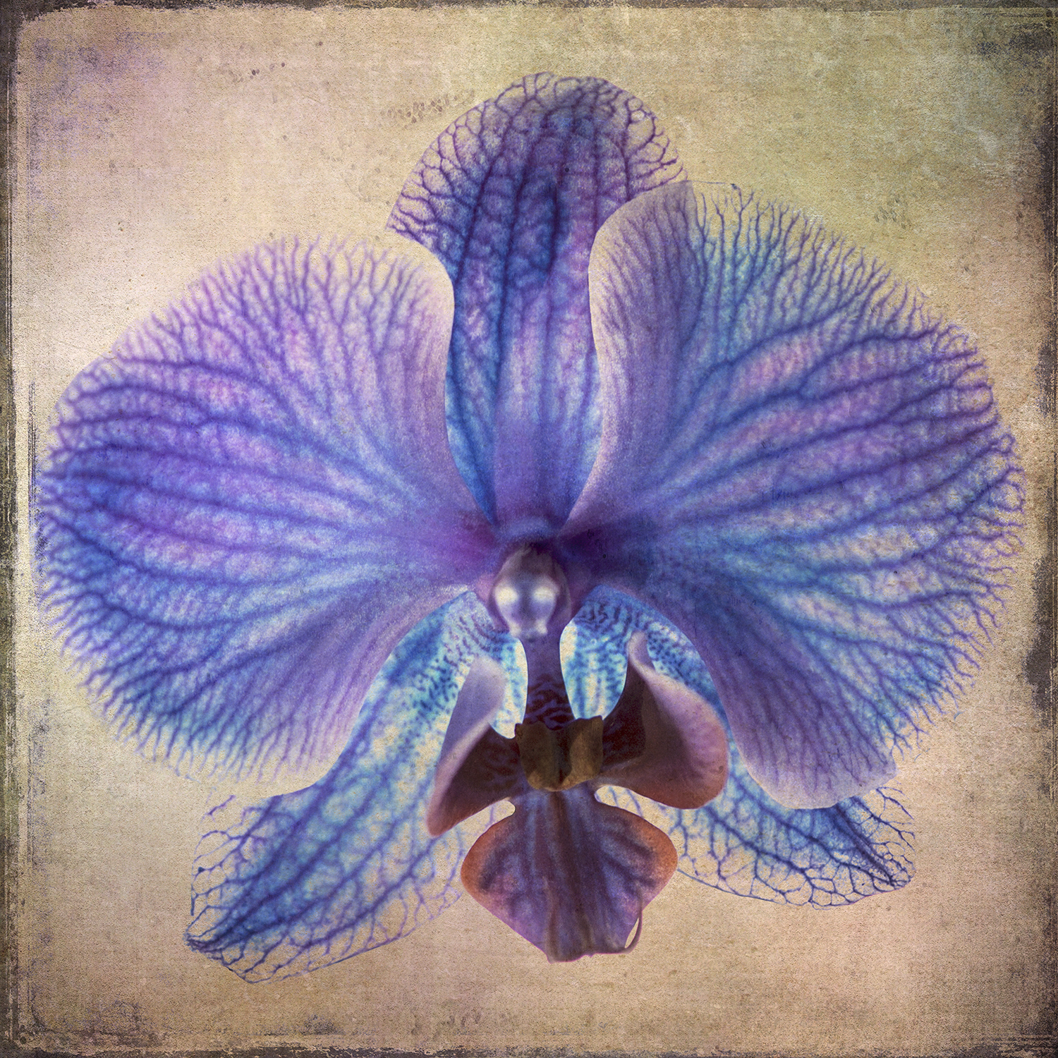 Xray Orchid Tinted