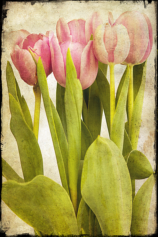 Pink Tulips Vertical