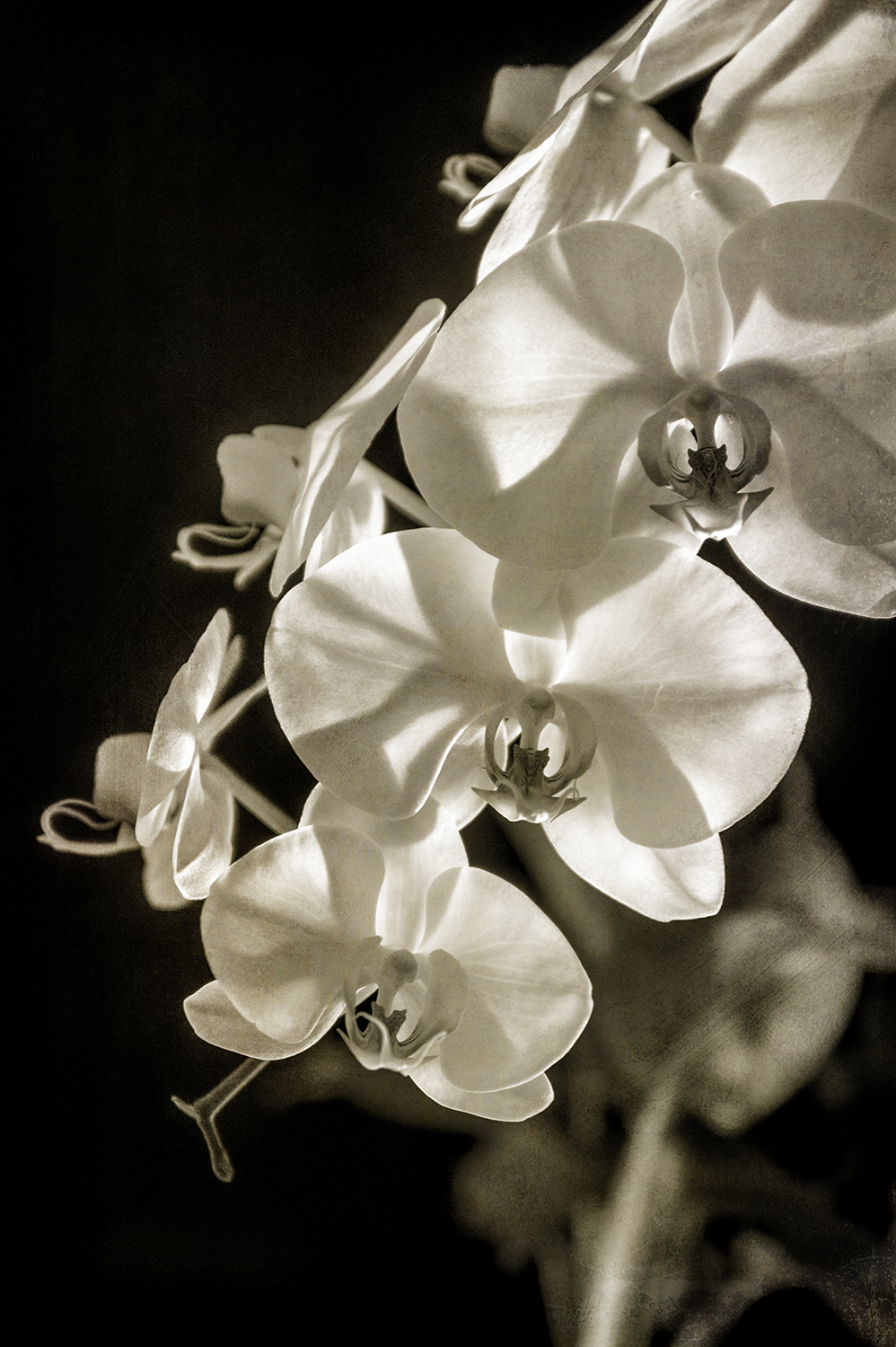 Orchid 4 Sepia