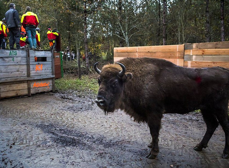 Swissinfo : Cinq bisons sont arrivés dans la forêt de Suchy (VD)