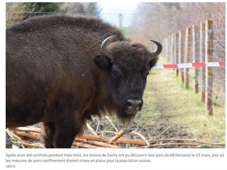 24Heures : Le troupeau de bisons d'Europe va s'agrandir