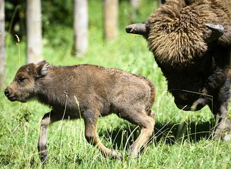 24 Heures : La petite bisonne a posé pour un portrait de famille