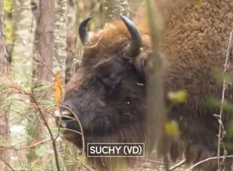 RTS : Les premiers bisons d'Europe, autrefois en voie de disparition, sont de retour (Suchy - VD)
