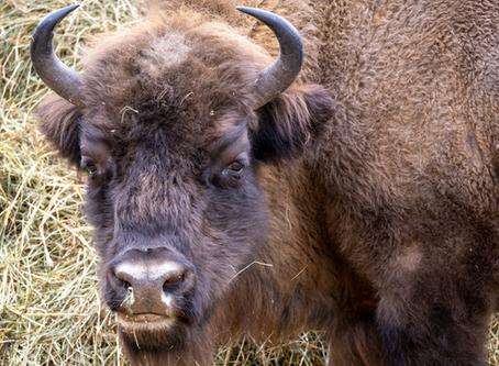 Le Courrier : Le biologiste des bisons vaudois