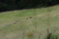 Playing young foxes