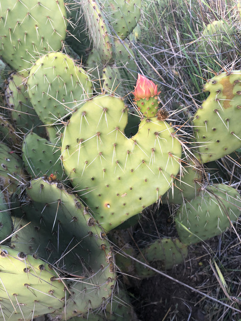 Heart of cactus.