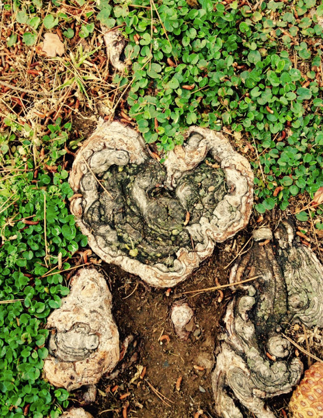 Heart of tree root. Found just outside the Opus Dei women's residence in Westwood, CA. It was the first place I found true friends after graduating from college.