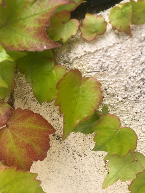 Heart of ivy leaves.