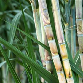 Bamboo & Sugar Cane