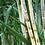 Thumbnail: Bamboo & Sugar Cane