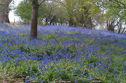 bluebell woods near St Stephen's