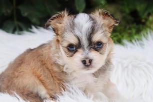 Chihuahuas vom Wieslauftal - Rassehundez