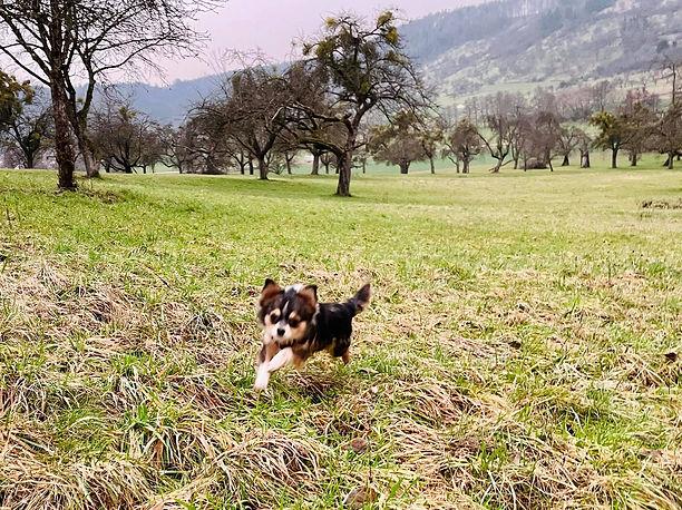 Chihuahuas vom Wieslauftal 2.jpg