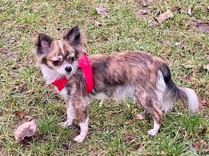 Chihuahuas vom Wieslauftal 1.jpg