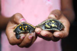 PMJ_turtle hatchlings2_JH