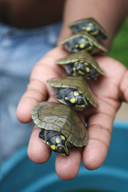 PMJ_turtle hatchlings1_JH