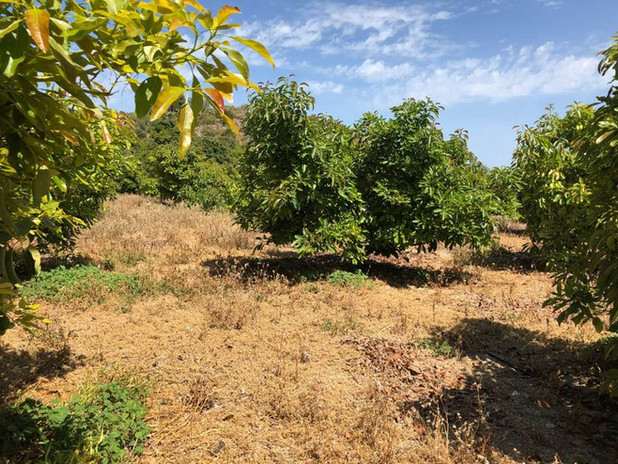 The fruit trees