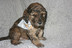 Hank_ 4 wks with bandana