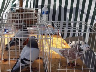 Des associations réunies pour mieux cohabiter avec les pigeons : Rencontre AERHO et l'associatio