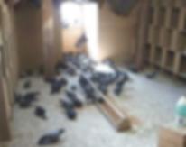 Pigeonnier dans une toiture