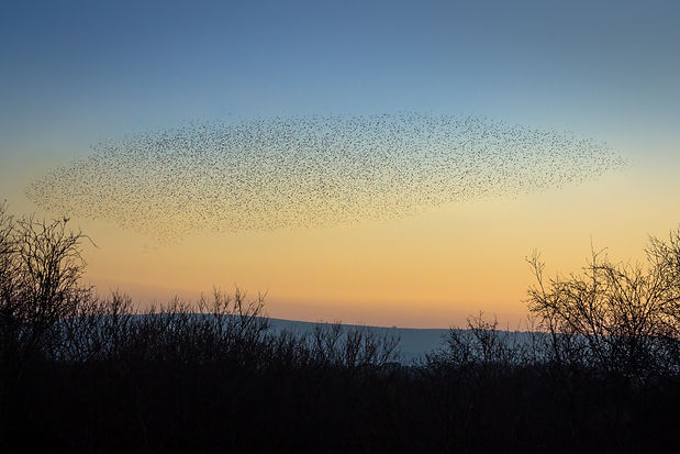 The evening murmuration of starlings ove
