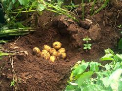 NML Mtanga Seed potato Tanzania