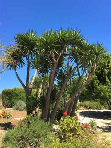 Yuccas Casas do carvalho