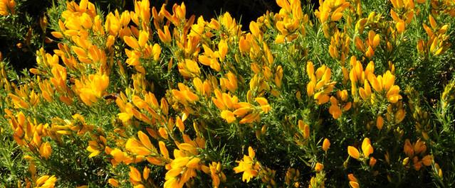 Yellow flowers Silver Coast