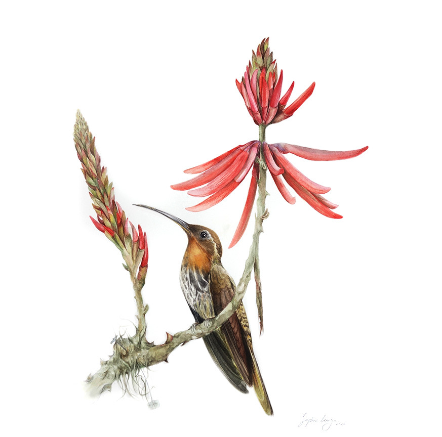 Saw-billed Hermit with Erithrina mulungu and price tag, 2020