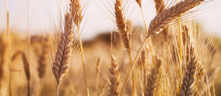 Алжир пригласил экспортеров зерна из РФ к аккредитации для участия в тендерах