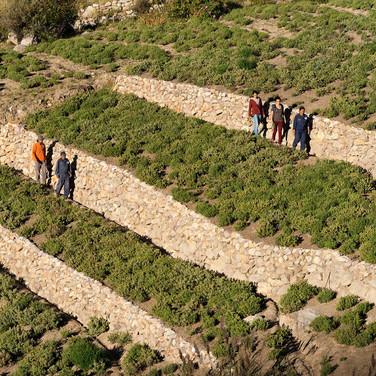 Cultivo de orégano en Socoroma