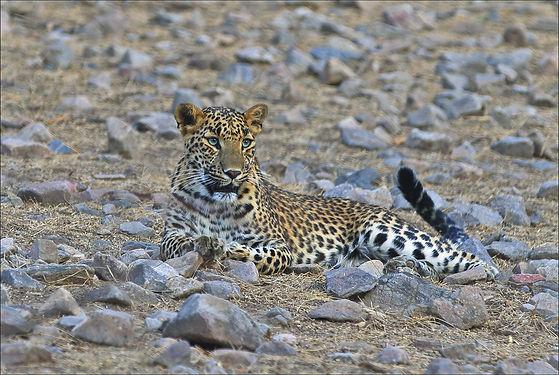 Indian Leopard.jpg