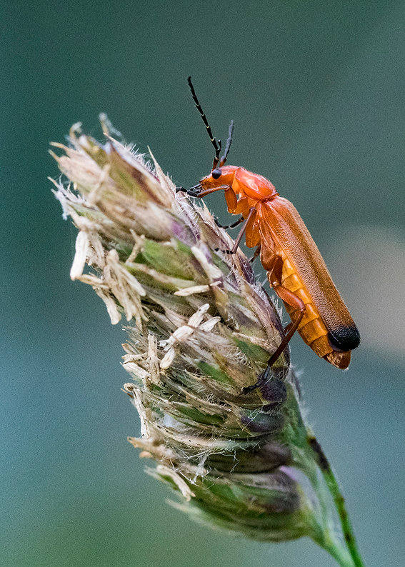 Common Red Soldier Beetle.jpg