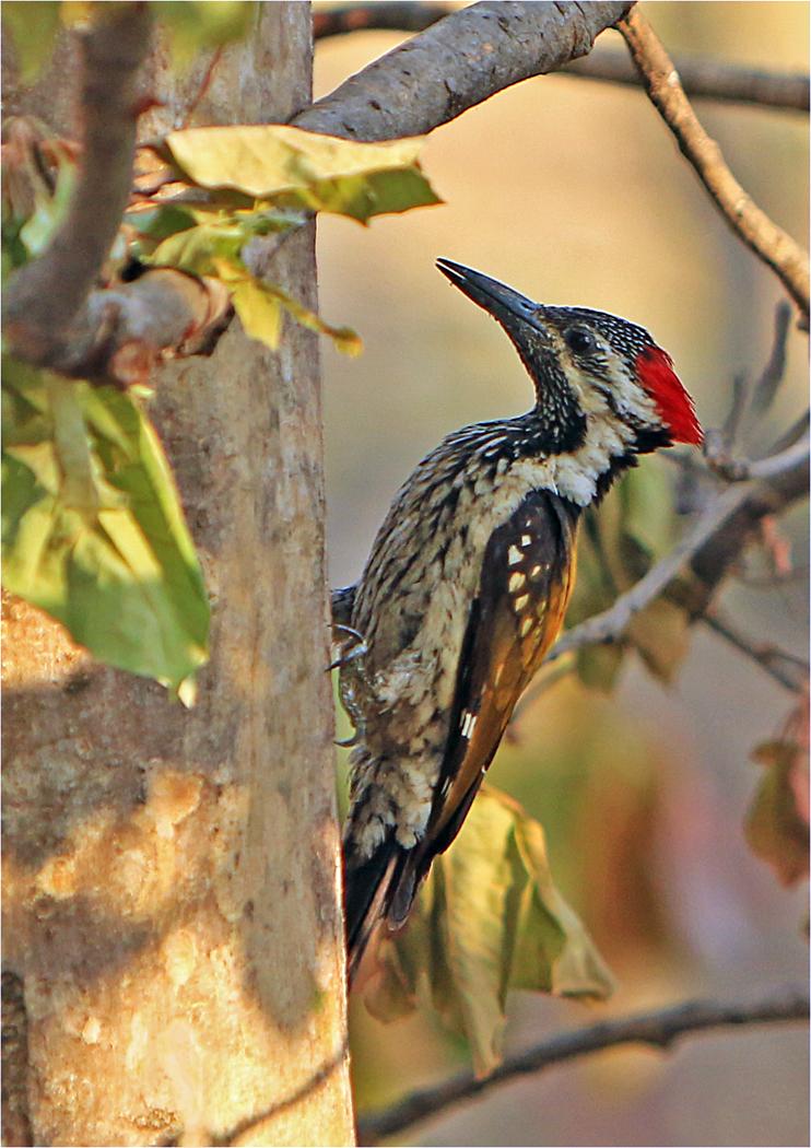 Indian woodpecker    ay001