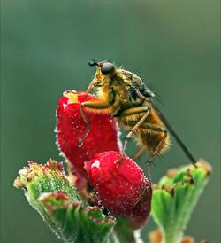 .fly-on-leaf-ay001