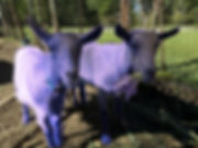 purple goats.jpg
