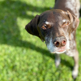 Ollie Timber  Ollie, the first of the Aguglia Crew, is an eleven year old German Shorthaired Pointer. This sweet natured bird dog loves playing tug-of-war, naps, and fetching the ball, stick, or really anything you throw.