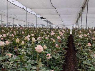 La pandemia de Coronavirus y su impacto en las relaciones laborales de la agroindustria florícola