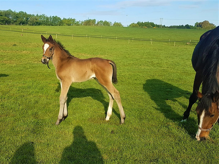 Tobago z filly.jpg